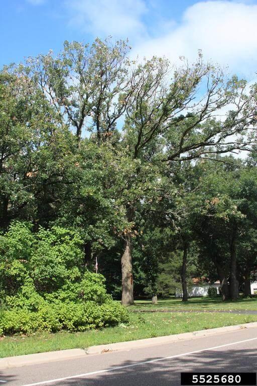 signs of bur oak blight