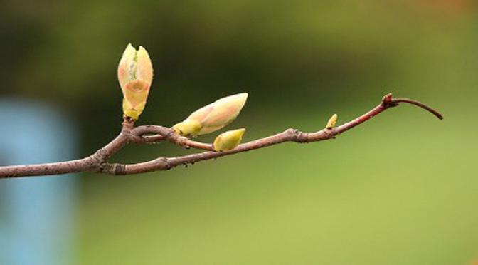 Péguy : Toute vie vient de ce tendre, de ce fin bourgeon d'avril