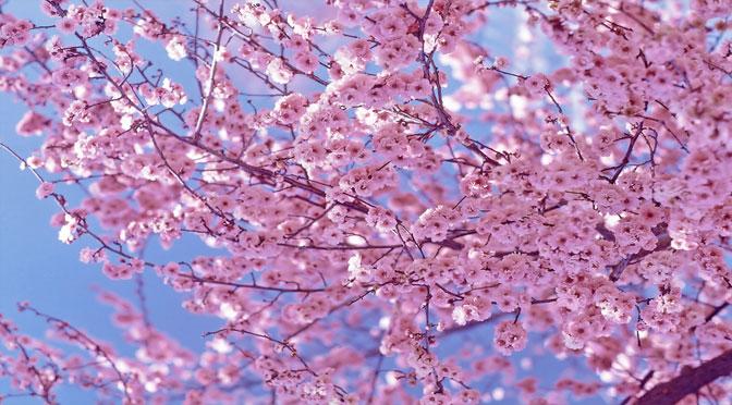 blog-bois-cerisiers-en-fleurs