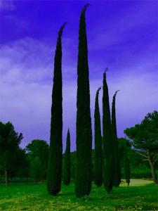 cyprès en Provence Verte
