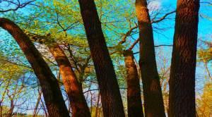 arbres en bouquet à Bagatelle