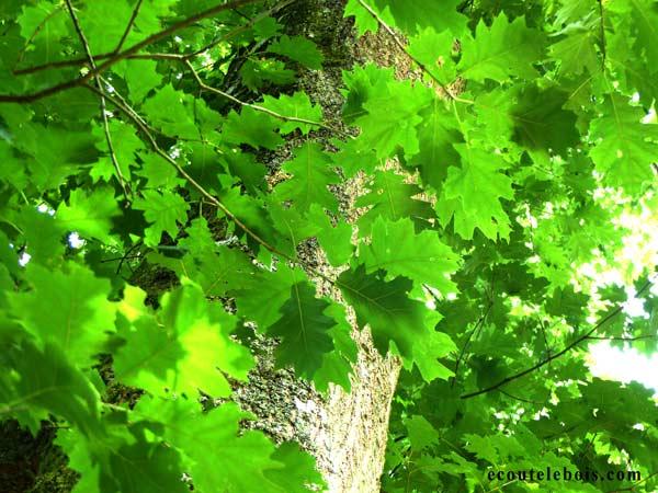 auprès de mon chêne feuilles ecoutelebois
