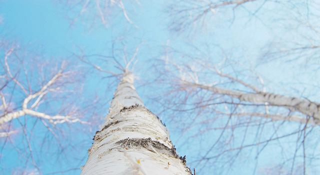 bouleau-hiver