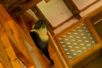 Monkey exploring the house
