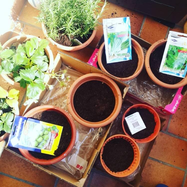Planting some memory from chiang mai and japan🌱🌱🌱🍓🌞 #thaiparsley #holybasil #tulsi #thaiaubergine #shiso #perilla #rosemary #herbsgarden #chezbelly