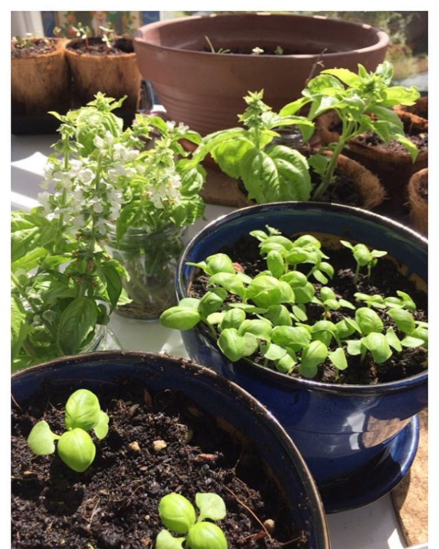 #growsomethinggreen #basilflowers #kitchenscraps #homegrown
