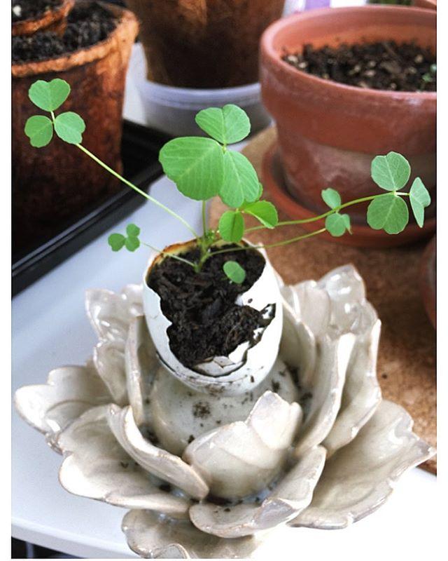 #homegardening #homegardener #growitindoor #herbsgarden #containergardening #alfalfasprouts