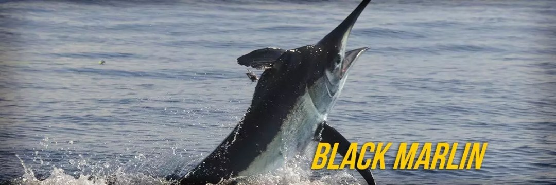 Black marlin 01