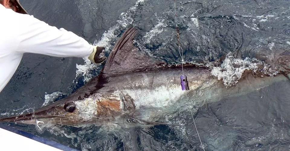 Galapagos Marlin Report December 1-8