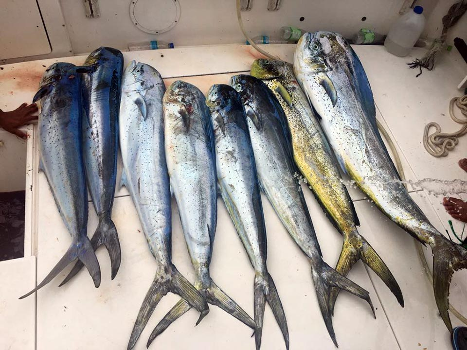 fishing reports 20180213 marlin tuna wahoo swordfish ecuador galapagos manta 03