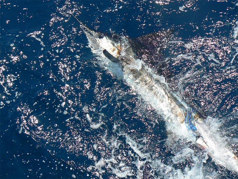 fishing reports 20180509 marlin tuna wahoo swordfish ecuador galapagos manta 02