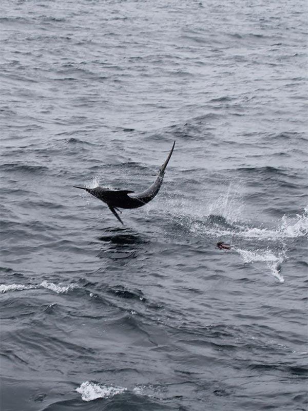 fishing reports 20180618 marlin tuna wahoo swordfish ecuador galapagos manta 01