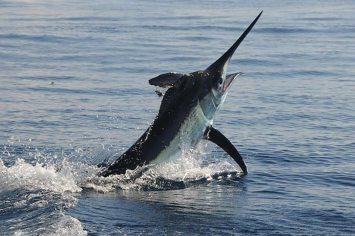 black marlin peru 01