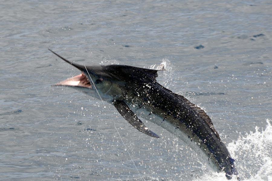 fishing reports 20180906 marlin tuna wahoo swordfish ecuador galapagos manta 01