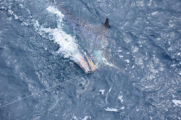 fishing reports 20181012 marlin tuna wahoo swordfish ecuador galapagos manta 04