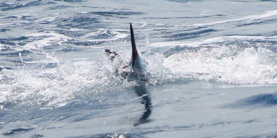 marlin fishing report 20181119 01