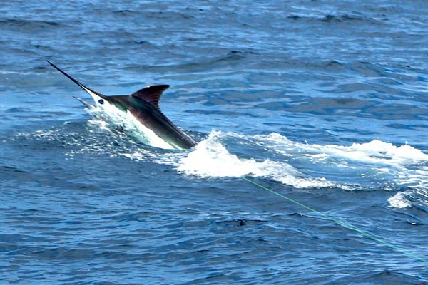 marlin fishing report 20181119 03