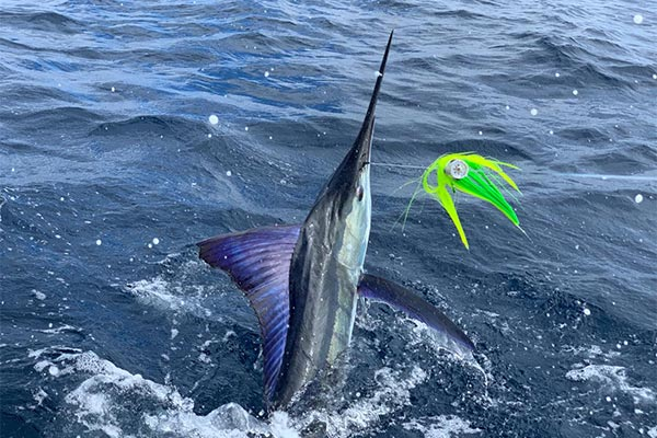 marlin fishing report 20181229 02