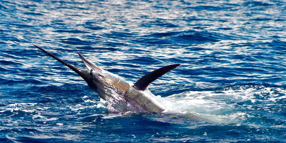 promotion 20190313 marlin fishing 01