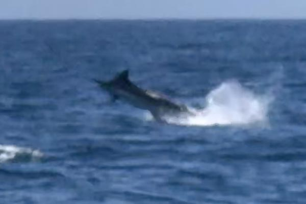 marlin fishing report 20190403 05