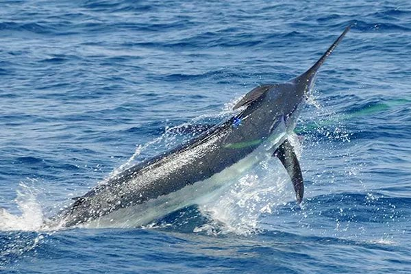 blue marlin fishing in action 01