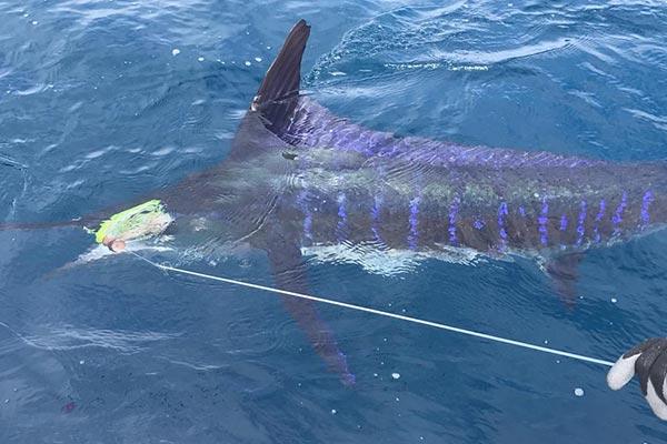 ecuagringo marlin fishing report 20190625 04