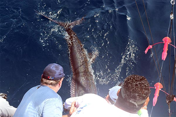 ecuagringo marlin fishing report 20190825 04