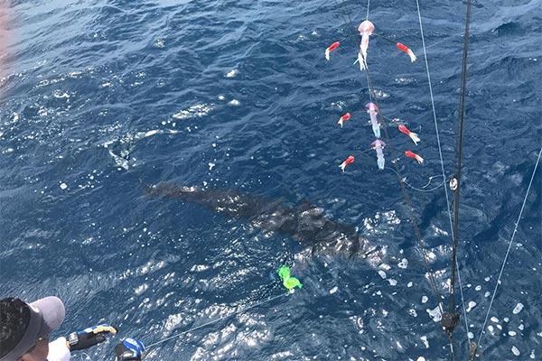 ecuagringo marlin fishing report 20190903 02
