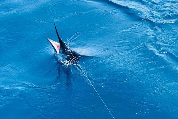 ecuagringo marlin fishing report 20190930 02