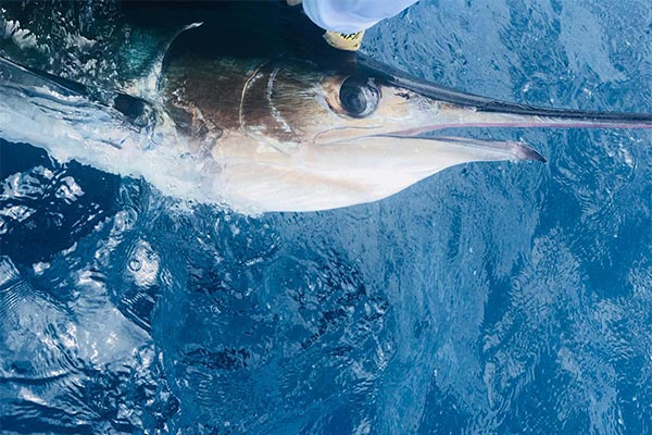 ecuagringo newsletter marlin fishing 201912007 03