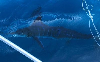 White Marlin Open Organizers Having A Blast With Hundreds Of Marlin Raises