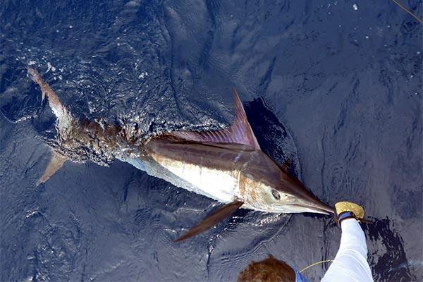 ecuagringo marlin fishing report 20200209 03