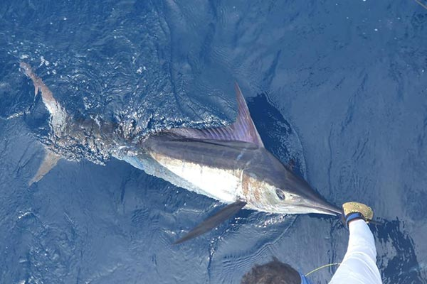 ecuagringo marlin fishing report 20200218 02
