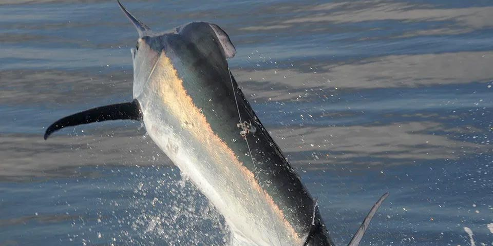 ecuagringo blog black marlin fishing 01