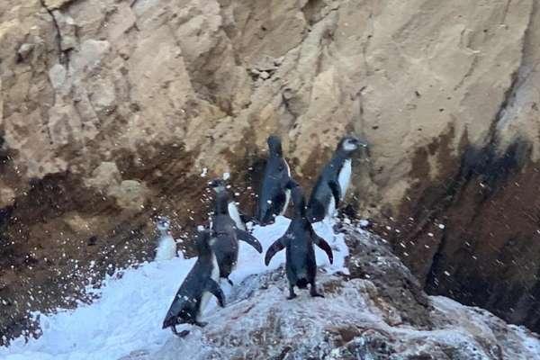 isabela island penguins