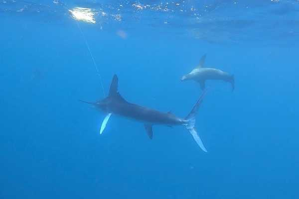 striped marlin fishing galapagos 20211013 02