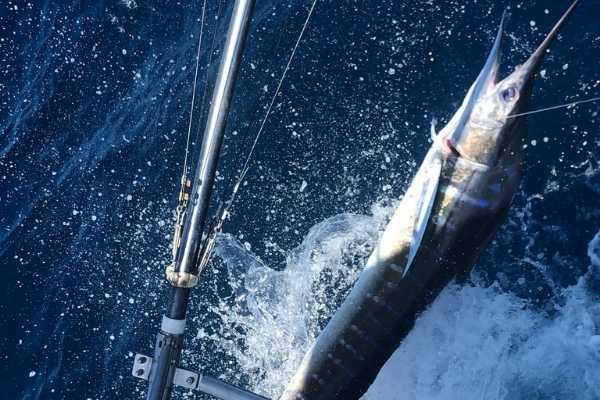 striped marlin fishing galapagos 20211013 03