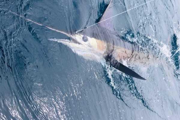 striped marlin fishing galapagos 20211013 04