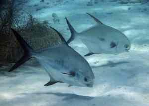 Underwater Marine Diving Tropical Fish Swimming
