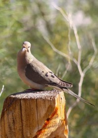 dove on a fence post