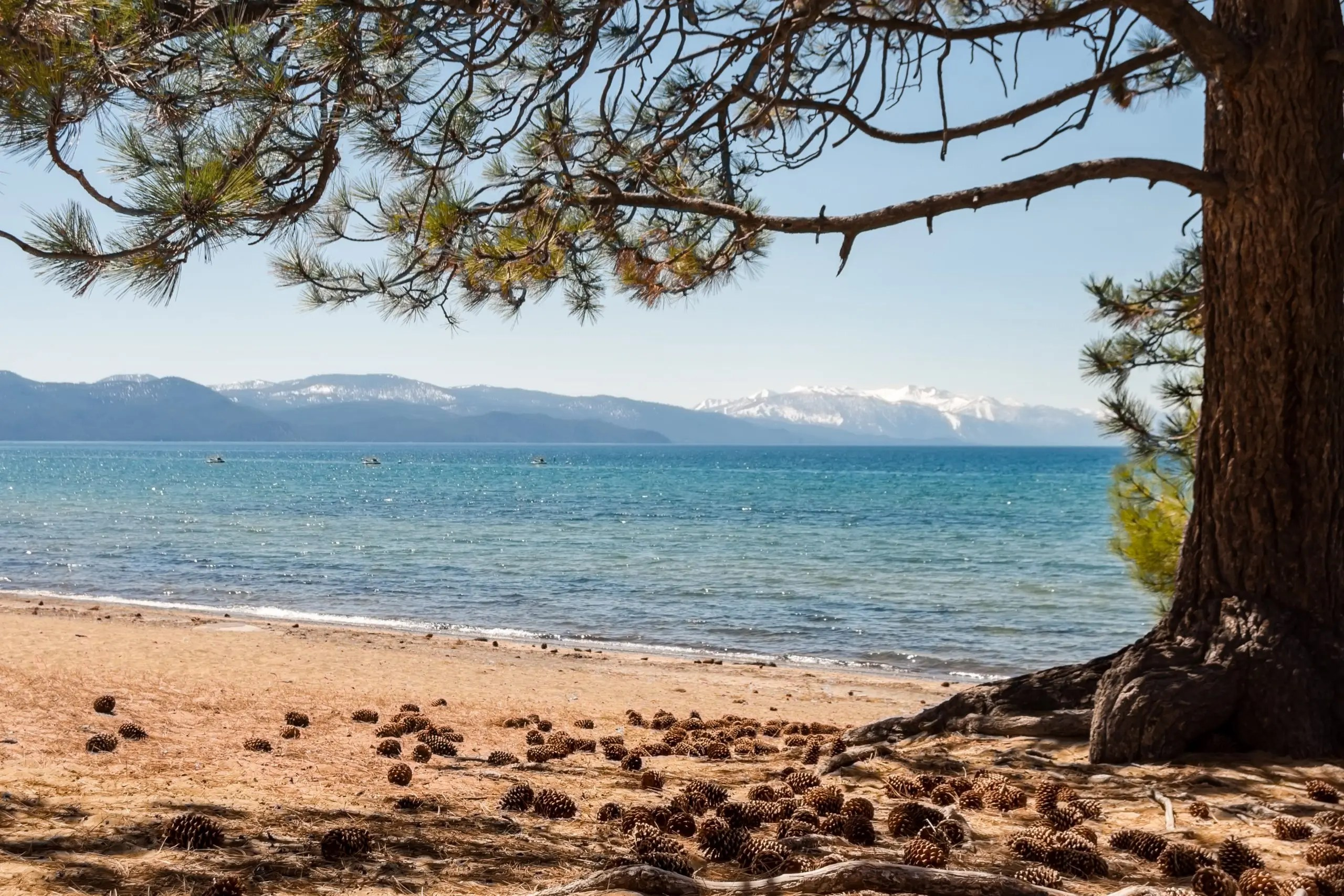 Panoramic view of a pine tree framing the beach with water and mountains in the background. This shot was taken in Tahoe Beach and is a typical visual for that location.