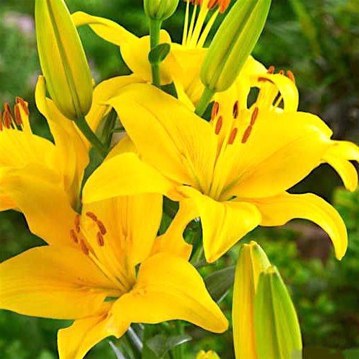 Лилия Еллоу Каунти Lilium Yellow County