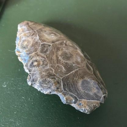 hersenkoraal fossiel