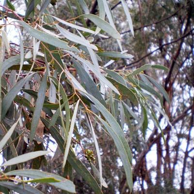 Blue Mallee Eucalyptus Essential Oil