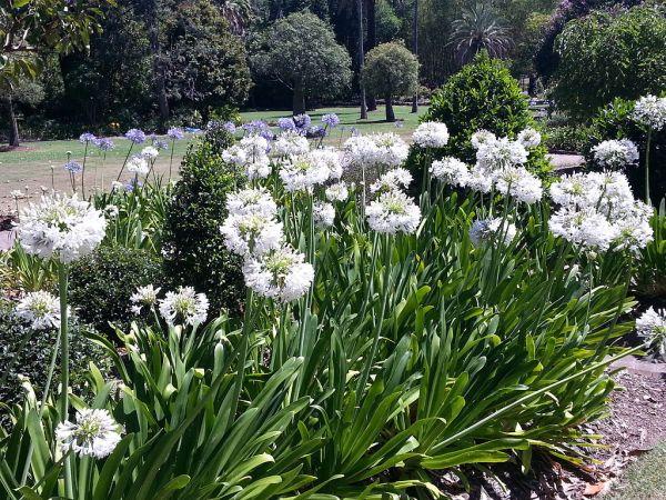 Agapanthus in giardino