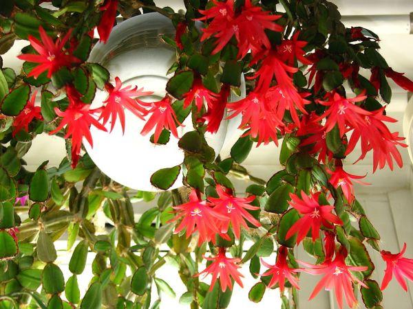 Hatiora gaertneri - cactus di Pasqua