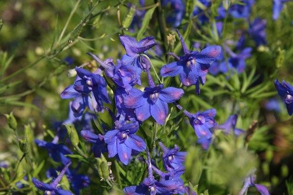 "Delphinium grandiflorum ""Dwarf Blue Butterfly"""