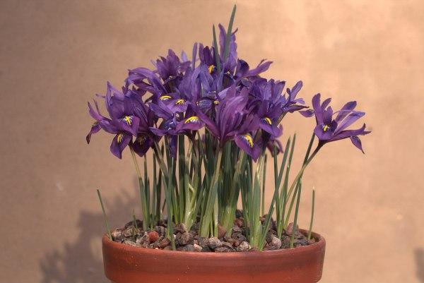 Iris Reticulata in vaso