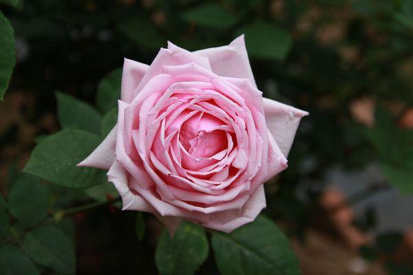 """Rose Ibridi di Tea """"La France"""""""