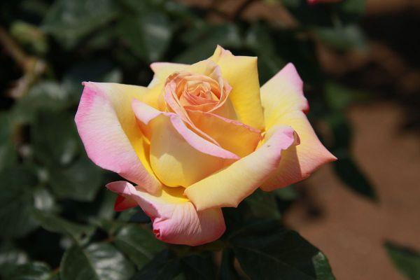 Rose Ibridi di Tea